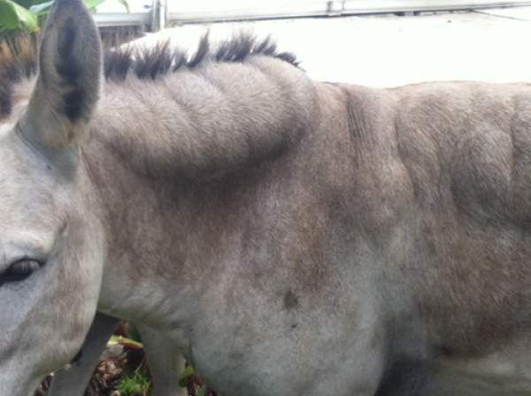 """From the Tradewinds: The bulges on the necks and bodies of several of the gelded males are fat deposits, according to the island vet Dr. Laura Palminteri and Caneel's donkey """"caretaker"""" Oriel smith acknowledges some of the donkeys have a weight problem and he is researching an appropriate diet to deal with the problem."""