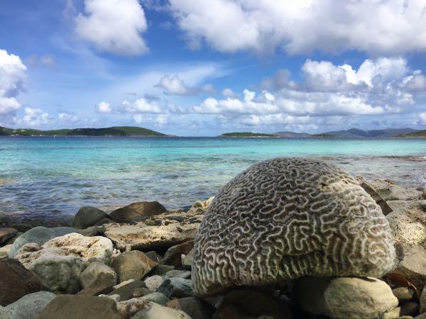 brain coral soloman
