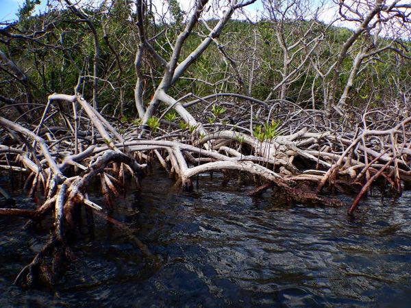 Red mangrove seedlings in Hurricane Hole - Picture taken by the National Park Service