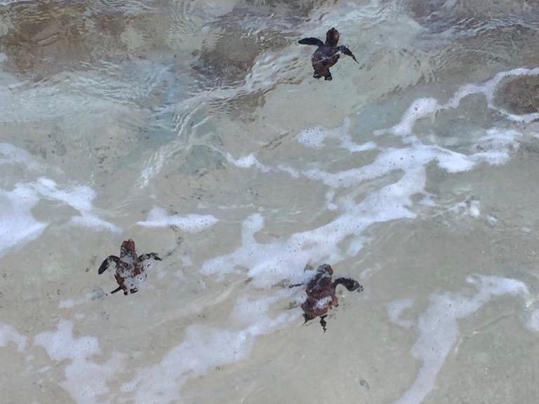 Baby turtles on St. John swimming