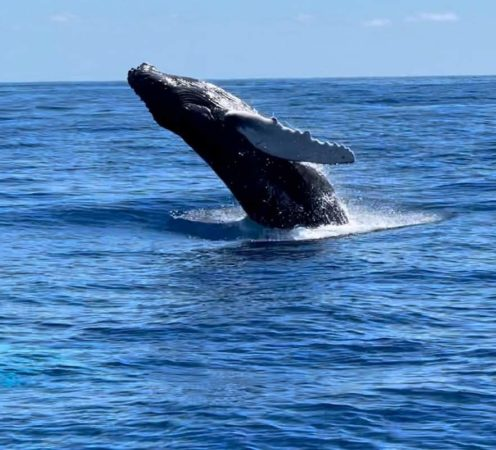 The Whales are Wintering in the Virgin Islands! 7